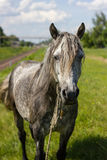 Końska twarz. Zdjęcia Stock