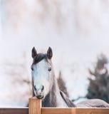 Końska twarz na drewnianym ogrodzeniu Obrazy Royalty Free