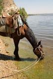 Końska woda pitna od rzeki Fotografia Royalty Free