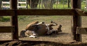 Końska zabawa zdjęcia stock