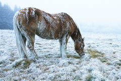 końska zima Zdjęcie Royalty Free