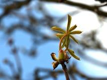 Koński cisawy drzewo Fotografia Stock