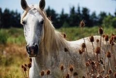Koński dziki camargue Obrazy Stock