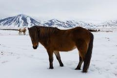 Koński Iceland Obraz Royalty Free