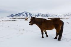 Koński Iceland Obrazy Royalty Free