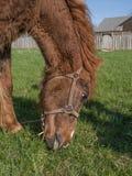 Koński karmienie na trawie Obraz Stock