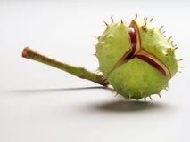 Koński kasztan (Aesculus hippocastanum) Obraz Stock