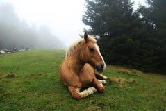 Koński obsiadanie na trawie w mgle Zdjęcie Royalty Free