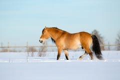 Koński odprowadzenie w zimie Zdjęcie Royalty Free