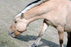 Koński pasanie Zdjęcie Stock