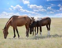 Koński pasanie Zdjęcia Royalty Free