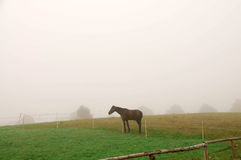 Koński pasanie w mgle. Zdjęcie Royalty Free