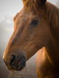Koński Portret Zdjęcia Stock