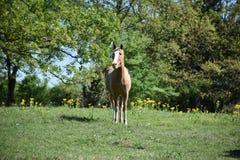 Koński portret w otwartym polu Obraz Royalty Free