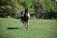 Koński portret w otwartym polu Fotografia Royalty Free