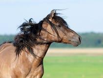 Koński portret w polu Zdjęcia Royalty Free