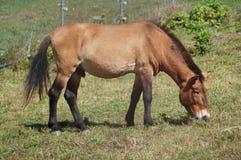 koński przewalski s Zdjęcie Stock