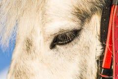 Koński twarz profilu widok Fotografia Royalty Free