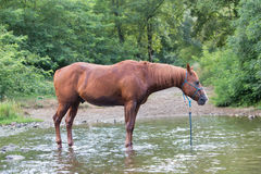 Koński w rzece podczas lata samotnie fotografia royalty free