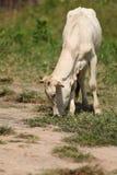 ko som äter gräs Royaltyfria Foton