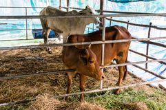 Ko som äter gräs Arkivbilder