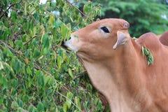 ko som äter gräs Arkivfoton