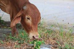ko som äter gräs Royaltyfri Foto