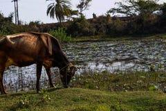 Ko som äter gräs i fältsjön i bakgrunden royaltyfri fotografi
