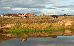 Ko som betar i ett fält Arkivfoto