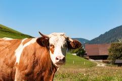Ko som betar i grönt berglandskap royaltyfri foto