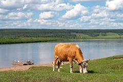 Ko som betar på en äng bredvid en flod på den soliga dagen för sommar fotografering för bildbyråer