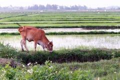 Ko som betar på en risfält Arkivfoto