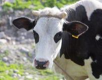 Ko som betar på naturen Royaltyfri Fotografi