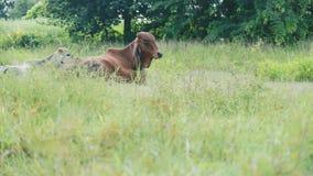 Ko som ligger i fält för gräsgräsplan Arkivbilder