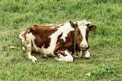 Ko som ligger i gräset Royaltyfri Fotografi