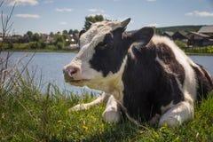 Ko som ligger på ängen som äter gräs Arkivbilder