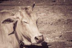 Ko som ligger på jordningen Royaltyfri Bild