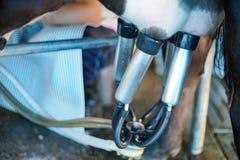 Ko som mjölkar lättheten och mekaniserar mjölka utrustning royaltyfria bilder