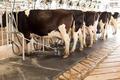 Ko som mjölkar och mekaniseras mjölka utrustning royaltyfria foton