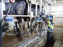 Ko som mjölkar utrustning Royaltyfria Bilder