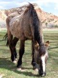 koń stary Zdjęcie Stock