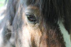 Koń twarz Fotografia Royalty Free