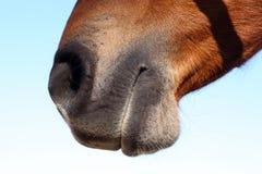 koń usta s Obrazy Royalty Free