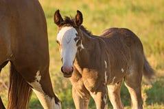 Koń uwalnia na polu w Argentyna Zdjęcie Stock