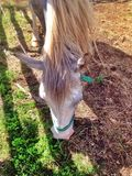 Koń w corral Obraz Royalty Free