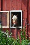 Koń w czerwonej stajni Fotografia Royalty Free