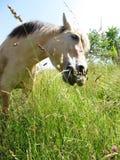 Koń w dzikim przy pasaniem Obrazy Stock