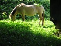 Koń w dzikim przy pasaniem Zdjęcie Stock