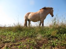 Koń w dzikim przy pasaniem Obraz Royalty Free