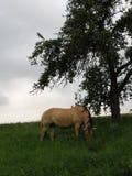 Koń w dzikim przy pasaniem Zdjęcia Royalty Free